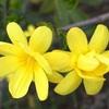ウンナンオウバイの花