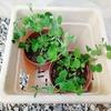 秋撒きさやえんどう。ポット苗から鉢に移し替えた2週間後の成長