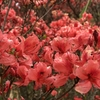 5月13日 雨の葛城山 赤く染まるツツジ園 終盤