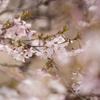 フジザクラ 富士山麓に群生する小さな桜を見に