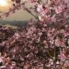島はもう春、河津桜が見頃 上天草市・維和島