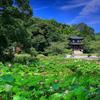 京都・山科 - 勧修寺 氷室池の蓮