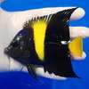 【現物1】アズファー 11cm± 海水魚 ヤッコ 餌付け!15時までのご注文で当日発送【ヤッコ】