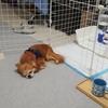 保護犬コスモの成長日記 2日目《おしっこうんち散乱事件!?》