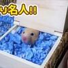 【ハムスター 動画】ハムスターが必死で巣作りしたお家を、お部屋掃除の為に壊したらすねた(笑)