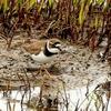 春の湿地のコチドリ
