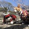 あずきちゃんがいっぱい9 熊本城へお花見編