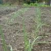 タマネギ栽培 1回目の追肥を行いました