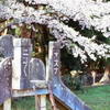最終回の桜