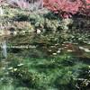 【岐阜県関市】秋におすすめ!モネの池は絵画のように美しかった!ハート模様の鯉と出会えばハッピーに!アクセス方法など