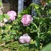 薔薇 `コンスタンス・スプライ'