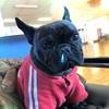 何故柴犬でも、トイプードルでもなくフレンチブルドッグが愛らしいのか。