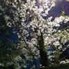 よな*夜な*ティノくん-夜桜🌸お19-