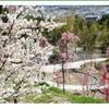 淡路島の花見におすすめ  広田梅林ふれあい公園