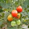 レンタル農園で、野菜作り始めました。