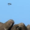 洋上で魚を捕らえて運ぶ鷹(ミサゴ)