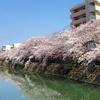 横浜桜名所満開散歩の記・最終回