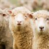 【羊毛をめぐる冒険】何故かアクセス数が急増。