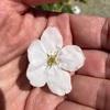 最速の桜満開 南浜公園と疎水