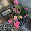 菊が見ごろになりました!