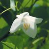今日の誕生花「エゴノキ」えぐい実から付けられた名前!