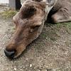 関西旅行⑫奈良公園で鹿三昧