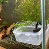 金魚水槽の餌やり