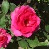 うららちゃん。過去一番の2番花(^^)