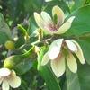 カラタネオガタマ、スイカズラ、ブンタンの花の香り