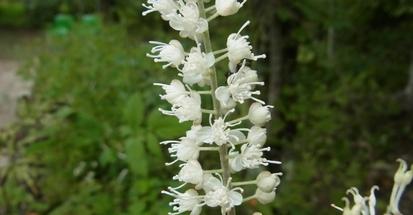 【雑学】自然観察指導員の徒然草=まるで氷の花! シモバシラって何?