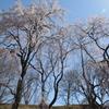 桜山に灯がともる