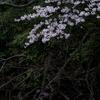 ひっそりと咲た桜は・・・