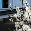梅の花、真っ盛り