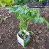 息子が小学校で育てたトマトの苗を植えた!