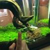 実験、ミナミヌマエビが小松菜を食べるのか、実験。