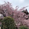 桜の開花宣言から満開までの最短記録はゼロ日!?