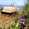 高山植物(雪割草とハクサンコザクラ)