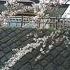 にかほ勢至公園の桜