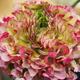 「春を告げる花」ラナンキュラス フェア(前編)