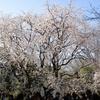 東京の桜の名所 ~ 六義園(しだれ桜)・上野公園・隅田公園(隅田川)