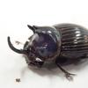 小さな外国産のカブトムシを発見!?   その正体はきっとゴホンダイコクコガネ