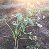 この週末でサツマイモとサトイモ(の一部)を掘りあげる