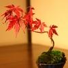 密かに人気の「盆栽」でもみじを楽しむ!育て方や室内で楽しむポイントは?