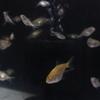 稚魚の褪色