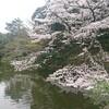 桜咲いてますね!o(*゜▽゜*)o その弐