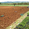 【来年の収穫を目指して…長命草(ボタンボウフウ)定植作業を行いました】