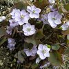 メギ科の花の開花続く