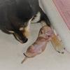 突然ですが豆柴ユズが再び子犬を生みました。