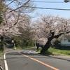 鎌倉山さくら道の桜開花状況 2021年3月27日