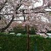 ちょっと遅かった桜まつり
